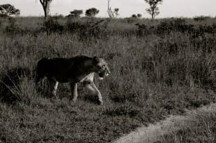 A lioness stalks the open savanna.