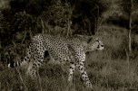 A lengau (English: Cheetah; Scientific: Acinonyx jubatus) prepares to stalk its quarry: a zebra colt.
