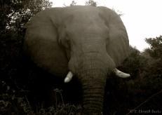 Setswana: Tlou. English: African Elephant. Scientific: Loxodonta africana.