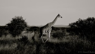 Setswana: Thutlwa English: Giraffe Scientific: Giraffa camelopardalis