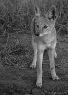 Setswana: Phokoje English: Black-backed Jackal Scientific: Canis mesomelas