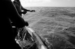 Each morning the men draw in the nets, collect their catch, and set the nets again for the evening catch.