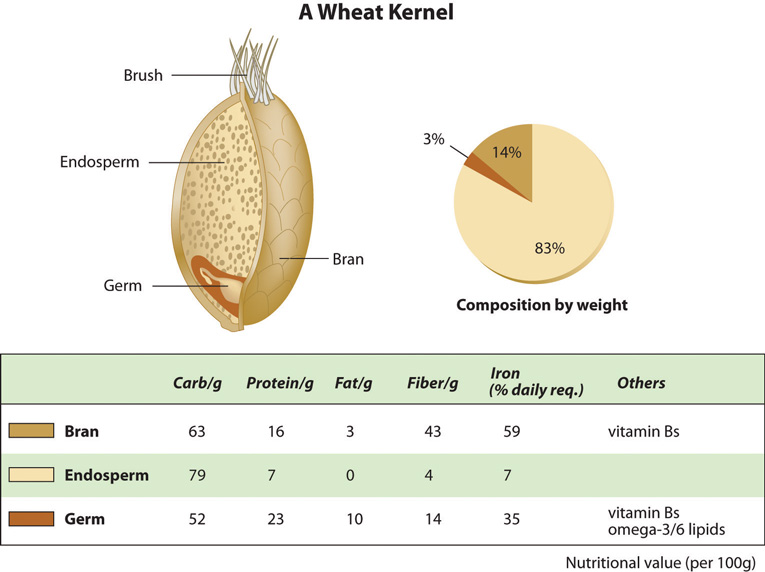 grain kernel diagram 2003 ford f150 starter wiring carbohydrates