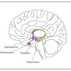 Brain Diagram Thalamus 1993 Chevy Truck Wiring Brains Bodies And Behavior