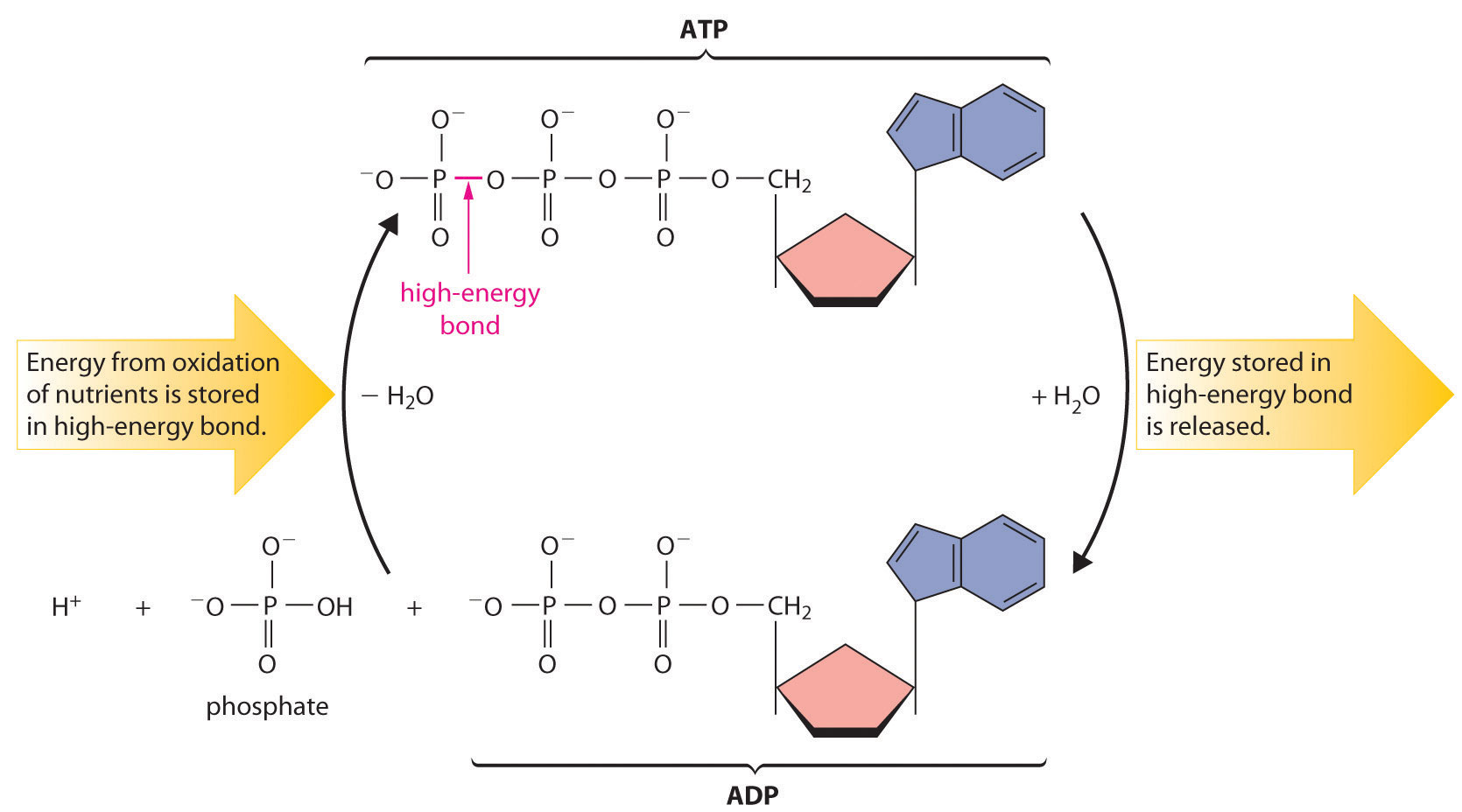 diagram of the atp molecule 220 volt well pressure switch wiring chemical thermodynamics
