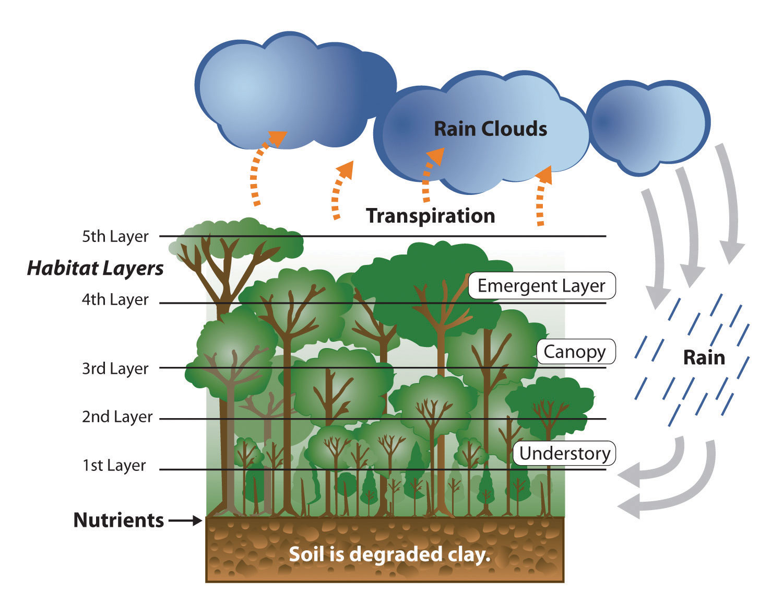 amazon rainforest layers diagram classic mini wiring brazil