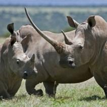 familia de rinocerontes la hembra con gran cuerno