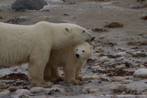 Osa polar con osezno durante su migración