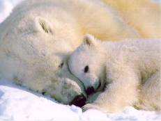 osa polar y su osezno ternura