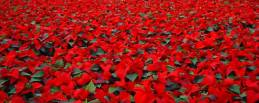 flores-de-poinsettia-rojas