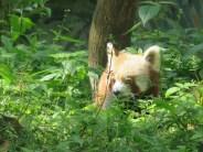 Red panda at the Darjeeling Zoo (Photo by Jamie)