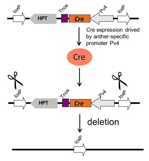 small resolution of figure 5 the schematic diagram of the marker free process pv4 is an anther specific promoter that drives cre gene expression in anther