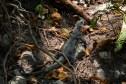Iguana from Xunantunich