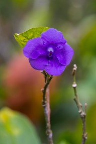 Purple Belizean Flower