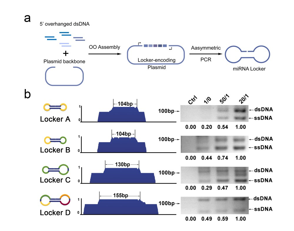 medium resolution of figure 1 generation of mirna lockers with oaa assembly and asymmetric pcr a schematic representation of the locker generating procedure