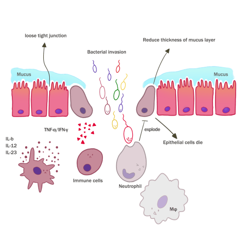 small resolution of these immunological attacks and inflammatory injuries eventually lead to the death of intestinal epithelial cells 5 ibd occurs when this condition