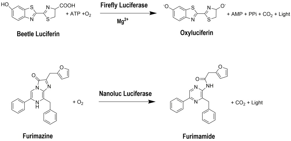 medium resolution of figure 3 the bioluminescent reaction catalyzed by fluc and nluc