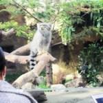 【兵庫】「世界最古のネコ」のマヌルネコが神戸にお目見え ふわふわ丸顔、早速人気に