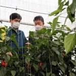 【とちおとめ】 「韓国産」イチゴが世界で大人気!大韓航空でシンガポールへ輸出