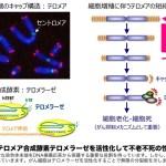 寿命を決めるテロメアの長さを20%伸ばす事に成功 25歳若返る さらに老化の細胞が37%減少