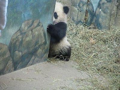 パンダ、脱『絶滅危惧種』 中国の50年に及ぶ保護活動で個体数が1800頭まで回復  [668024367]