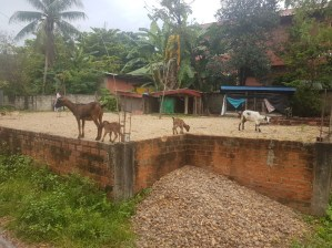 Goats (not sheep!) in front of her house