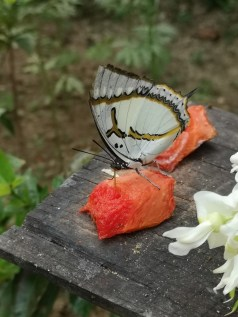 White butterfly feeding on a melon