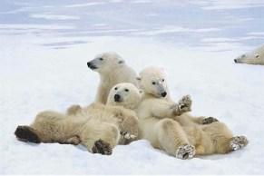 animal-polar-bear-relax-in-snow-poster-id3737