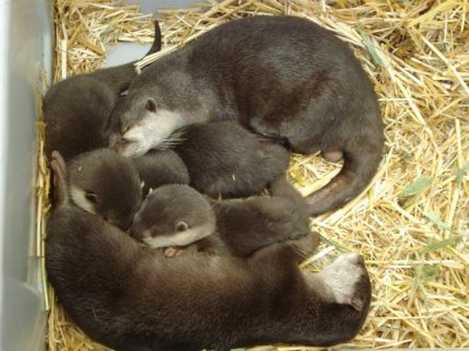 Asian Clawed Small Otters