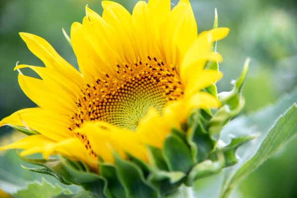 A photo of a sunflower in Gilliam, Louisiana