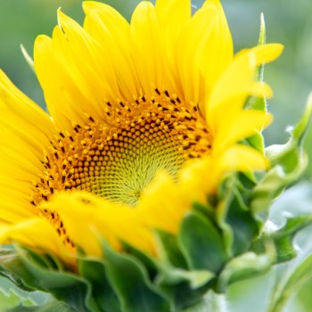 A photo of a sunflower in Gilliam, Louisiana