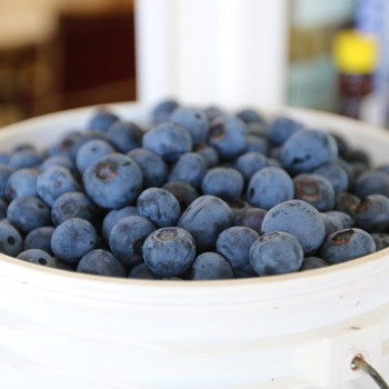 A photo of blueberries from Blueberry Hill