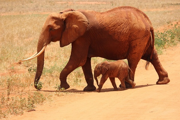 Lovely Parent and Baby Elephant In Kenya Dessert
