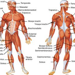 Skeletal And Muscular System Diagram Delco Remy Alternator Labelled Of Year 9 Pass Thgs The