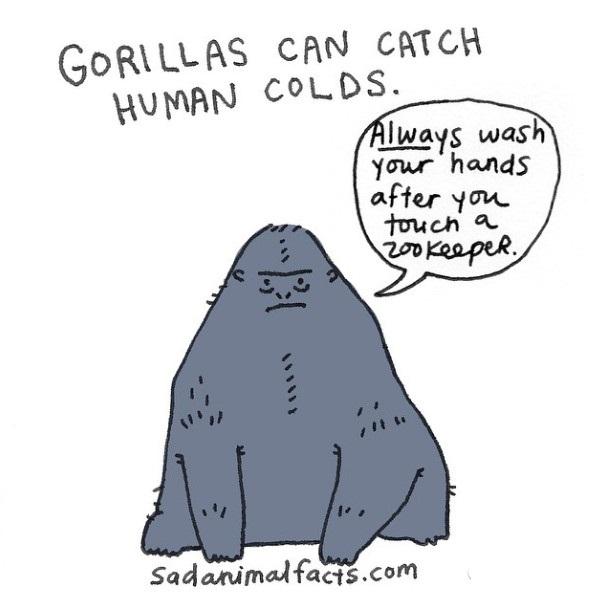 """大猩猩会被人类传染感冒。 """"在和动物园管理人接触后,一定要洗手。"""""""