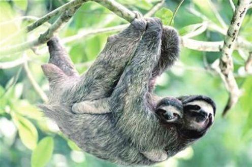 上海动物园两只树懒三年多没拉过手 慢出新节奏