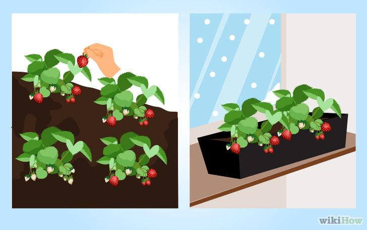 以Grow Strawberries Step 19为标题的图片