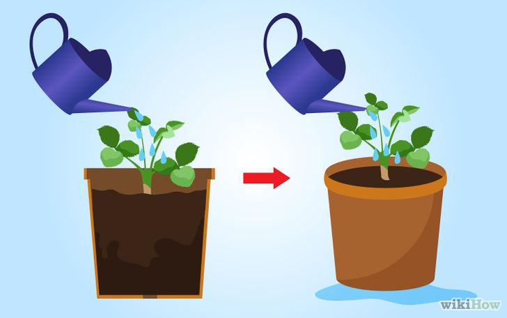 以Grow Strawberries Step 27为标题的图片