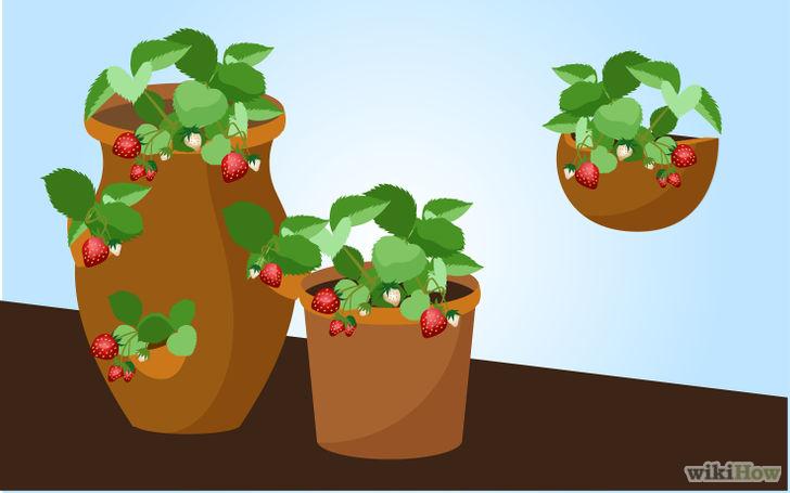 以Grow Strawberries Step 29为标题的图片