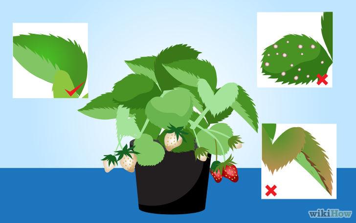 以Grow Strawberries Step 3为标题的图片