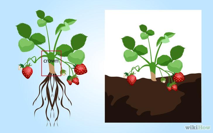 以Grow Strawberries Step 5为标题的图片