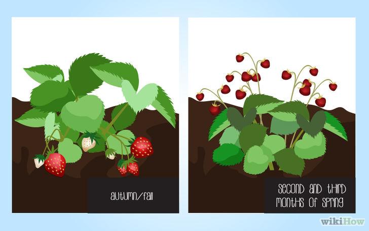 以Grow Strawberries Step 7为标题的图片