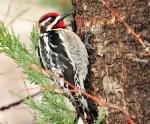 啄木鸟不是什么好鸟