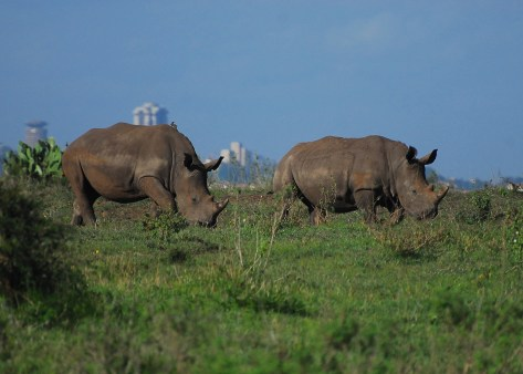 two rhinos in the Nairobi National Park with the city skyline visible in the background
