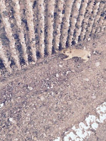 This is actually a baby prairie dog looking for his mama.