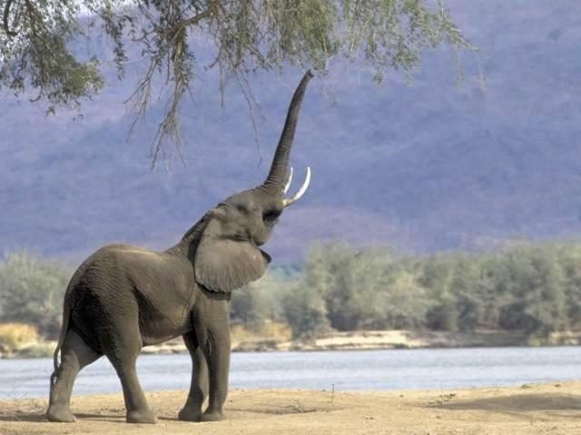 Jak komunikovali druhohorní ještěři?Charakteristické sloní troubení zná pravděpodobně každý, a to ať již z filmu, zoologické zahrady či vlastní cesty po africkém kontinentu.
