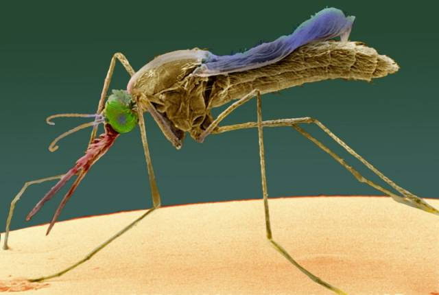 Světovou senzaci znamená čerstvý objev dvou genů v organismu komárů, kteří přenášejí malárii. Geny bezprostředně reagují na přítomnost parazita známého jako Plasmodium, který ničivou nemoc způsobuje.