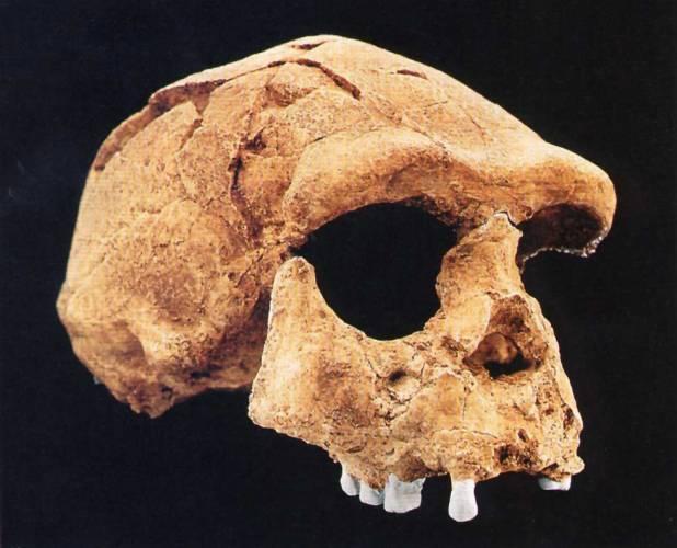 Prakticky všichni primáti, včetně vyhynulých rodů Australopithecus a Paranthropus, mají mohutné čelisti se silnými žvýkacími svaly a poměrně malou mozkovnu. Teprve fosilní a moderní zástupci rodu Homo mají poměrně gracilní žvýkací svaly, ale podstatně vyvinutější schránku na mozek.