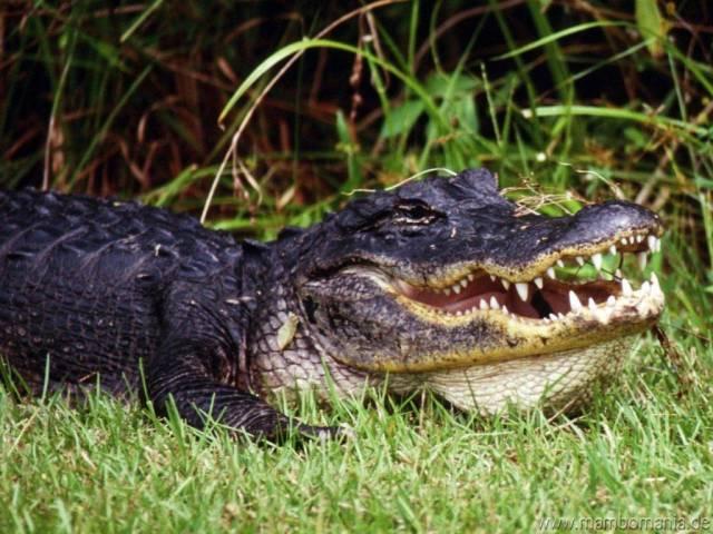 Dokážete si představit na jediném místě pohromadě 1, 5 milionů amerických aligátorů a jejich krokodýlích příbuzných? Dva tisíce medvědů, statisícová hejna 550 druhů ptáků, divočáky, jeleny, floridské pantery, chřestýše i ostatní hady, hmyz, přepestré motýly a další suchozemské živočichy. Připočtete 300 druhů ryb, želvy, kraby, delfíny, žraloky a jiné vodní tvory. Taková je jižní část poloostrova Florida.