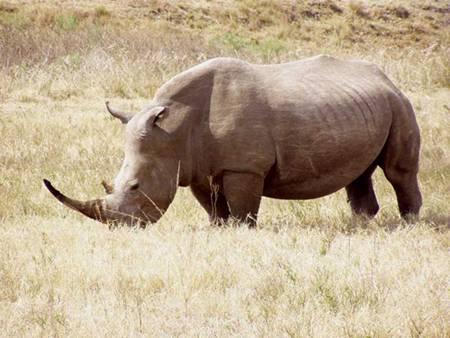 Kvůli vážným obavám z úplného vyhubení se několik posledních kusů nosorožce bílého přestěhuje příští měsíc do Keni.